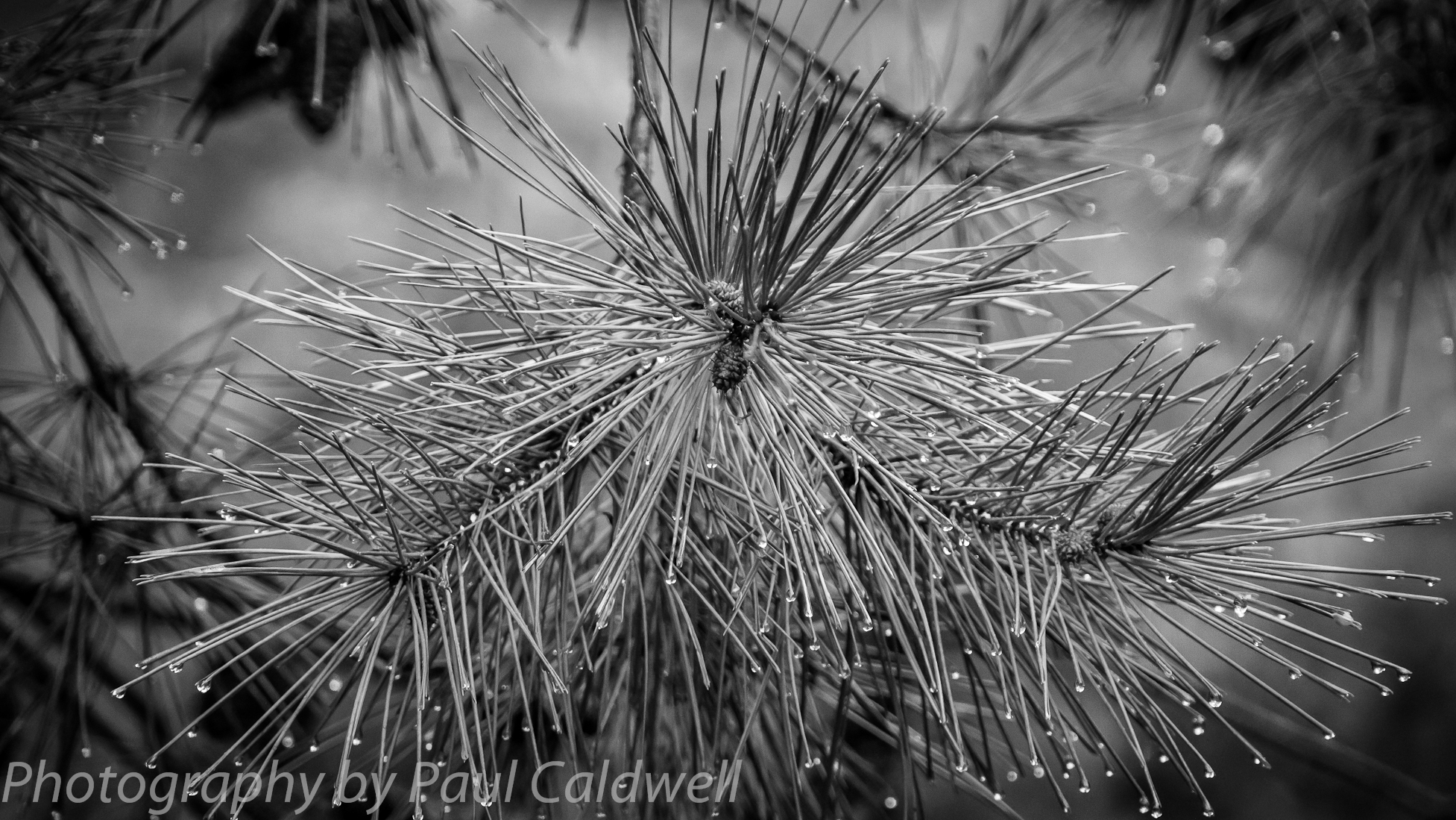 Pine needles after the rain