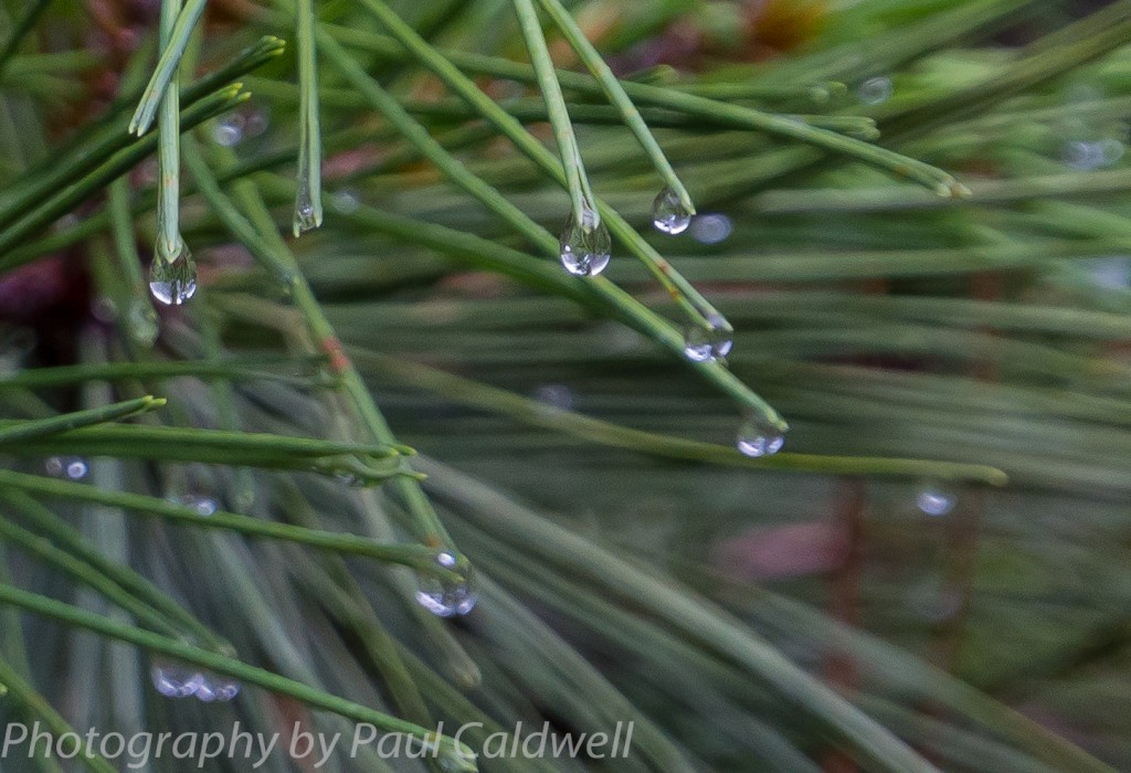 Drops on needles after the rain