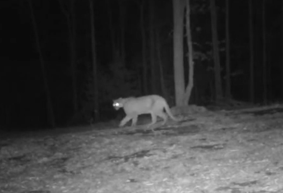 Mountain Lion near Boxley Valley