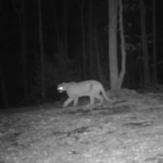 Night shot of Arkansas Mountain Lion no1