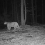 Night shot of Arkansas Mountain Lion No 2