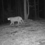 Night shot of Arkansas Mountain Lion No 3