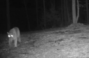 mountain lion and game camera